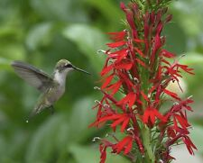 New listing 100 Cardinal Wild-flower seeds ~ Organic ~ Lobelia cardinals