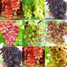 50pcs Finger Grape Berry Seeds Rare 4 Kinds Colors Pereninal Garden Home