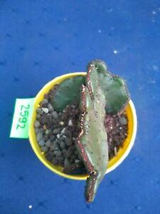 Euphorbia leucodendron cristata 2592p