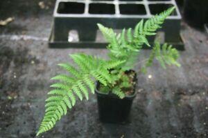 Exotic Fern - Ctenitis squamigera