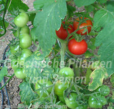 Sub Arctic Tomate Tomatoes for Cold Summers 10 seeds