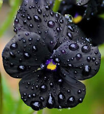 Pansy Clear Crystal Black Seeds x 50 Spring/Summer Flower Best Black Pansy