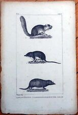 Muskrat/Water Shrew 1830s French Animal Print - Le Loir, Amusaraigne d'Eau