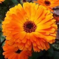 2000stk Ringelblume Samen Calendula Originalverpackung Blumensamen Y9F2