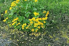 Garden Pond Edge Plant Mixture Summer Flowering UK Native Wild Flowers Damp Soil