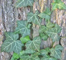 Bare Root Live Perennial English Thorndale Ivy 5 pc Vine Ground Cover House