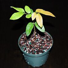"DRAGONS EYE Tropical Fruit Tree LONGAN 'Dimocarpus'  LYCHEE 5"" pot EXCELLENT"