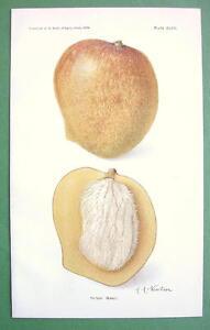 BOTANICAL PRINT COLOR - Peters Mango