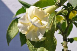Engelstrompete Brugmansia  * anouschka   * Pflanze 35 cm