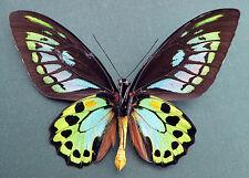 Ornithoptera Priam ssp. Priam BLUE UNDERSIDE, RARE!!! EX Ambon, Moluccas, kg1/15