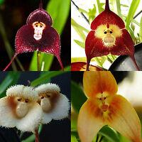10 Stück Mixed Monkey Face Affe Gesicht Orchidee Blemen Samen Saatgut gemischt