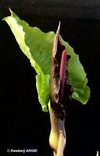 Typhonium giganteum. Big FS tubers !!. Seldom offered. New harvest 2020. (AROID)