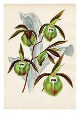 Catasetum Stupendum by Jean Linden Orchids A4 Art Print