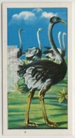 Ostrich Can Not Fly But Run At 40 MPH Vintage Trade Ad Card