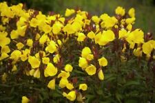 More details for 10 x  hardy perennial oenothera tetragona  'sundrops' plug plants ground cover