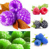 1000 pcs Raspberry Seeds Fruit Seeds Green, Red, Blue, Purple, Black Rasberry