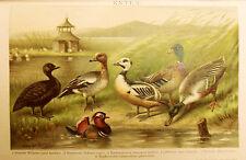 1894_ANTICA CROMOLITOGRAFIA_ANATRE-ENTEN-DUCKS.TIPO...