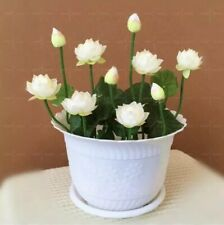 Hot! 5pcs/bag bowl lotus water lily Seeds rare Aquatic flower Perennial bonsai
