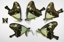 Papilio phorcas 5males wholesale butterflies for artwork frames(Papilionidae)