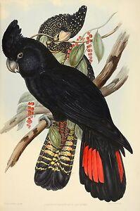 John Gould Native  Birds print black cockatoo painting Vintage Old Australia