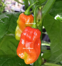 Trinidad 7 Pod SR - A Gigantic 7 Pod Chilli Can Fill Up the Palm of your Hand!!!