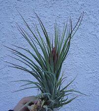 Xl Tillandsia Fasciculata x Ionantha Air Plants