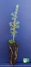 CEDRUS LIBANI alveolo Cedro del libano piant plant Cedar of Lebanon