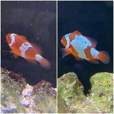 Lightning Maroon Clownfish Marine Fish Reef Aquarium Pair