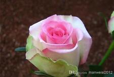 20+PINK AND WHITE OMBRE ROSE Bush Seeds - Rare,   USA SELLER,