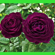 Dark Purple Rose Flower Seed Bush Tree Plant Seeds Beautiful Flowers 50 Seeds