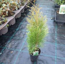 Thuja Evergreen Shrubs & Hedges