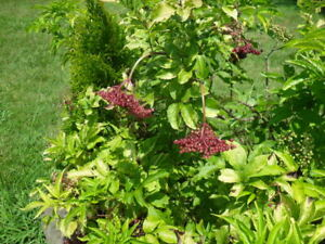 """Elderberry, Golden 4"""" Potted Plant, Combined Shipping"""