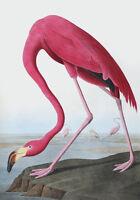 """Vintage Audubon Bird Art CANVAS PRINT~ Flamingo Poster B 24""""X18"""""""