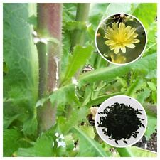 Opium Lettuce (Lactuca virosa) 25+ Seeds *Free International Shipping*