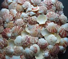 Sea Shells Pecten Natural (Approx 55) Macassarien Macarensis Nobolis Scallop