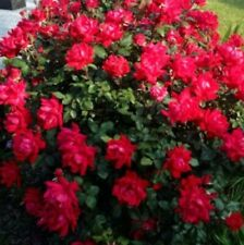 (10)Double Knock Out Rose (Red) Cuttings For Propagation. Free Shipping