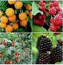 Mixed JUMBO RASPBERRY BUSH SEEDS Rubus Raspberries SWEET Fruit 50 Seeds
