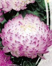 Peony Aster ANEL Seeds light lilac asters organic non gmo Ukraine 0.3 g