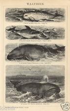 1893= CETACEI = BALENE= DELFINI = Animali = Antica Stampa = Old ENGRAVING