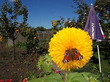 Sonnenblumen Gefülte, Teddybär Sonnenblumen min.20+ Samen