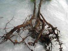 1 x European Beech Fagus sylvatica popular bonsai trees outdoor