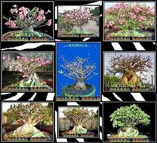 ❀⊱ ADENIUM ARABICUM THAI SOCOTRANUM CAUDEX BONSAI HOUSE PLANT SEEDS Ƹ̵̡Ӝ̵̨̄Ʒ✿S