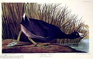 John James Audubon American Coot Giclee Canvas Print
