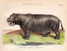 1880 Hand Farbige Druck ~ Ungulata Nilpferd Amphibius Nilpferd