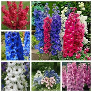 Seeds Delphinium Low Tall Mix Red Giant Rare Flower Annual Outdoor Cut Organic