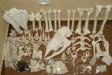 real genuine animal africa sitatunga antelope skeleton taxidermy skull bone tool