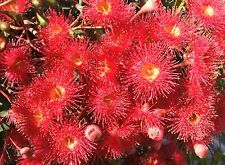 RED FLOWERING GUM SEEDS CORYMBIA FICIFOLIA EUCALYPT GUM TREE NATIVE