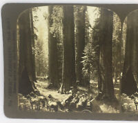 """""""The Confederates"""" Forest Giants Mariposa Grove, California 1905 Stereoview"""