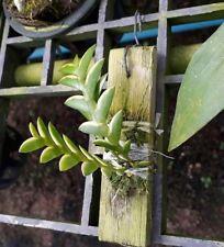 Dendrobium indivisum variegated leaf Orchid plant species miniature THAILAND