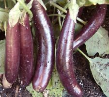 Eggplant Seed: Hansel Eggplant Seeds Fresh Seed Free Shipping